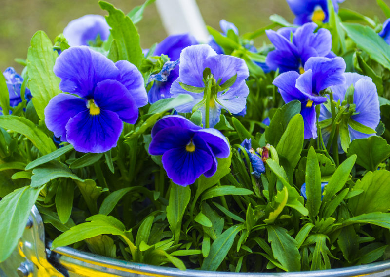 pansies Colorful floral background from flower pansy.Flower Pans