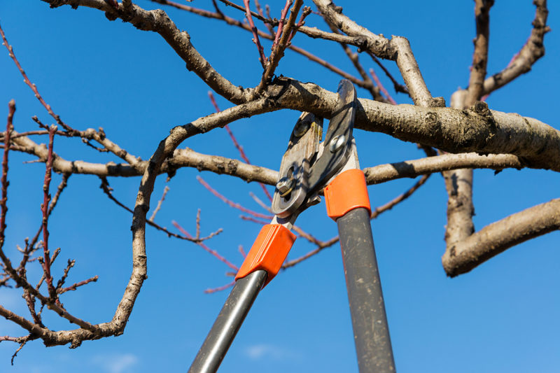 Pruning peach-tree brunch with a pruning shears